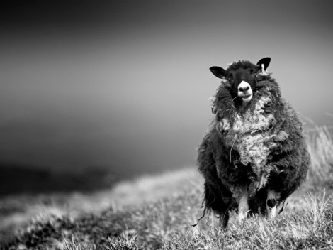 Sheep, Wester Quarff, Shetland Isles